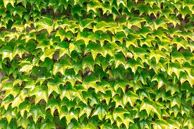 stock photo of spiky plants  - Wall of plants with the same green spiky leaves - JPG