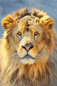 picture of lions-head  - details of lion head shoot in spring time - JPG