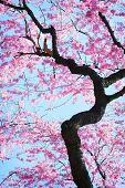 image of cherry-blossom  - Beautiful cherry tree blossoming in the spring - JPG