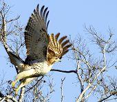 Hawk Taking Flight