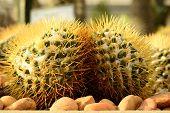 Cactus, Torch Thistle