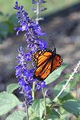 Monarch Butterfly V