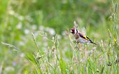 beautiful little bird goldfinch stay at stem of flower. Carduelis carduelis
