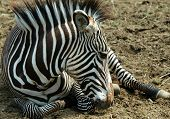 Zebra Abstract