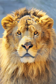 foto of lions-head  - details of lion head shoot in spring time - JPG