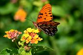Vibrant Color Great Spangled Fritillary Butterfly At A Butterfly Garden Background poster