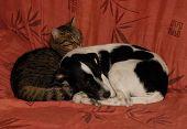 foto of cat dog  - sleeping grey cat and purebred jack russel terrier - JPG