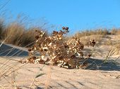Dune Dried Plant