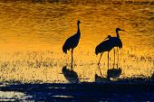 Thre Sandhill Cranes At Sunset