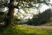 Old Oak Tree In Sunset Landscape Countryside Landscape With Old Oak Trees And Pine Forest Valley. Ol poster