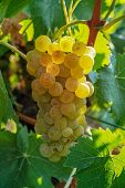 Ripe White Wine Grapes Plants On Vineyard In France, White Ripe Muscat Grape New Harvest poster