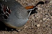 Gambel'S Quail Up Close