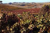 Autumn In The Vinyard