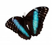 Blue-banded Morpho Butterfly, Morpho Achilles, In Flight Is Isolated On White Background. A Butterfl poster