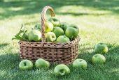 Apple harvest. Ripe green apples in the basket on the green grass. poster