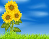 vector background with three sunflowers on a blue sky and green grass