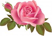 Pink rose  illustration. At illustrations creation gradient mesh tool was used