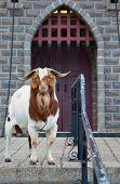 Protector de la cabra
