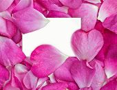 pic of rosepetals  - beautiful pink rose petals with white card for your message - JPG