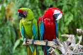 pic of green-winged macaw  - Couple of Green-Winged and Great Green macaws in nature surrounding Bali Indonesia