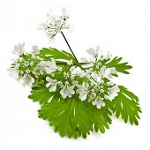green leaf cilantro coriander  bloom  isolated on white