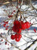 red guelder-rose