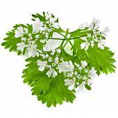 fresh green leaf cilantro coriander  blossom  isolated on white