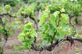 pic of moscato  - Young vineyard - JPG