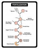 Fertilization Steps