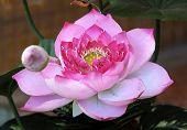 Thailand, Koh Samui Island: Lotus Flower