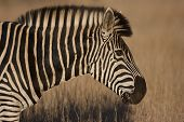 stock photo of veld  - Zebra portrait taken in the Kruger National Park in South Africa - JPG