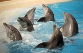 stock photo of flipper  - Dolphins dancing in water during show in Loro Parque in Tenerife - JPG