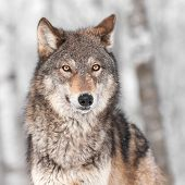 foto of predator  - Grey Wolf  - JPG