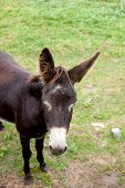 image of headstrong  - View of a Brown Donkey grazing in the meadow - JPG