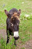 picture of headstrong  - View of a Donkey grazing in the meadow - JPG
