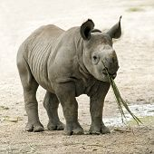 Lonely Endangered Baby Black Rhinoceros