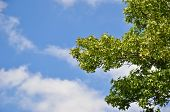 Summer Sky And Green Branches Of Maple