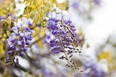 Chinese Wisteria Or Wisteria Sinensis