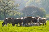 Healthy Cattle Livestock, Idyllic Rural, Uk