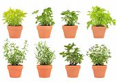 pic of feverfew  - Herb selection of marjoram lemon balm tarragon hyssop mint bergamot feverfew and catmint growing in terracotta pots over white background - JPG
