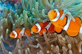 stock photo of saltwater fish  - Clownfish on the soft coral reef  - JPG
