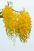 stock photo of vishu  - Golden shower flower on tree - JPG