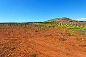 picture of golan-heights  - Rows of Vines on the Field in Golan Heights Early Spring - JPG