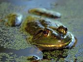 Swamp Bullfrog