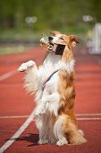 stock photo of superstars  - border collie dog with medal and award make show trick - JPG