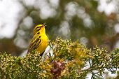 stock photo of conifers  - A Prairie Warbler singing in a conifer - JPG