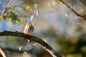 stock photo of ovenbird  - A curious little ovenbird perched high in a tree - JPG