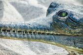 stock photo of crocodilian  - Gavial in Chitwan National Park - JPG