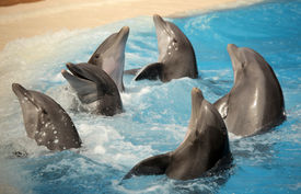 picture of bottlenose dolphin  - Dolphins dancing in water during show in Loro Parque in Tenerife - JPG