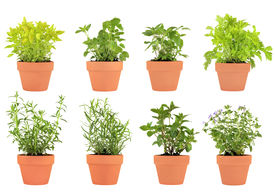 image of feverfew  - Herb selection of marjoram lemon balm tarragon hyssop mint bergamot feverfew and catmint growing in terracotta pots over white background - JPG